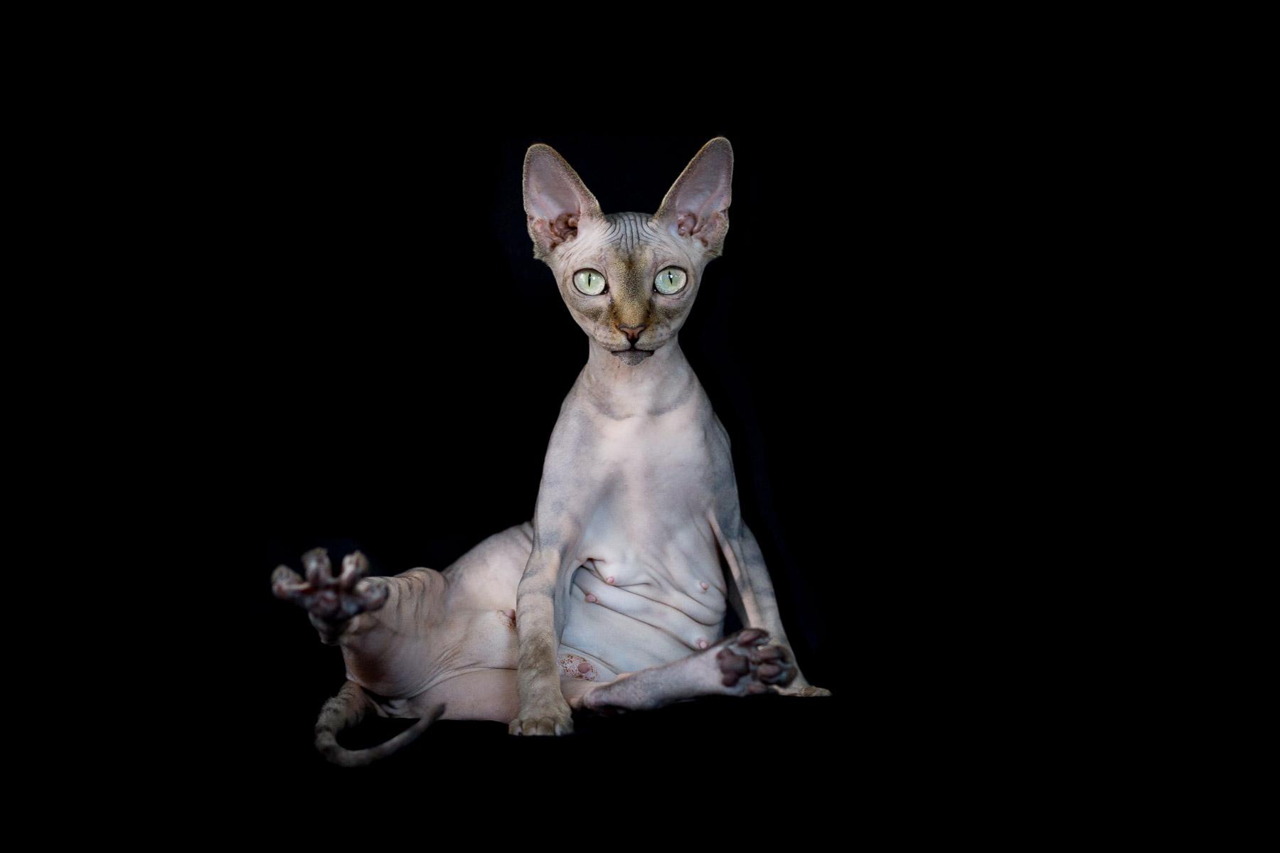 Картинки кошек сфинксов на телефон